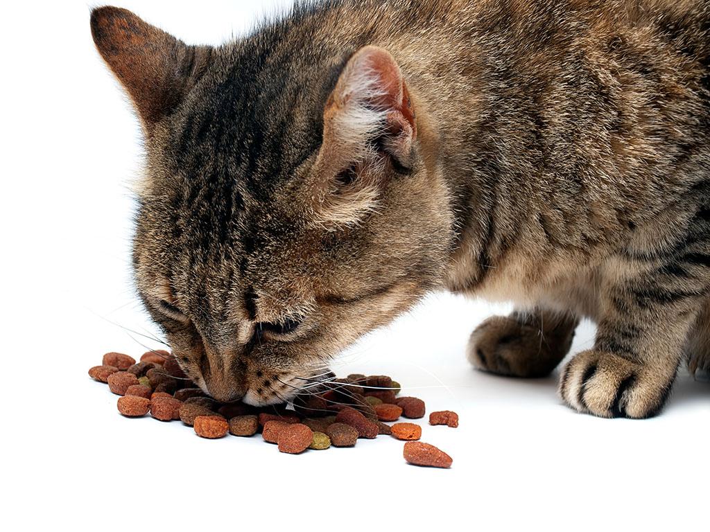 katt äter mycket