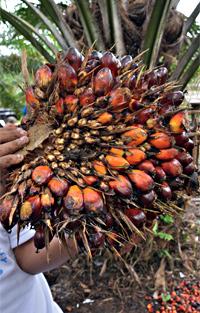varför är palmolja dåligt